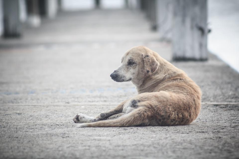 Grande Parte Das Pessoas Que Compram Esses Animais Não Levam Seriamente As Consequências E As Responsabilidades De Cuidar De Um Animal, O Que Leva Ao Abandono. (Imagem: Pixabay)