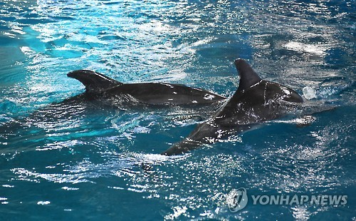 Dois golfinhos comprados pelo Whale Life Experience Museum, localizado na cidade portuária do sul de Ulsan, nadam no aquário nesta foto tirada em 9 de fevereiro de 2017. Um deles morreu no dia 13 de fevereiro. Foto: Yonhap