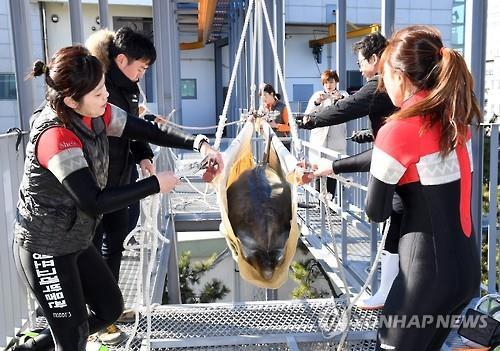 A equipe do aquário ajuda no transporte de um dos dois golfinhos comprados pelo Whale Life Experience Museum em 9 de fevereiro de 2017. Foto: Yonhap