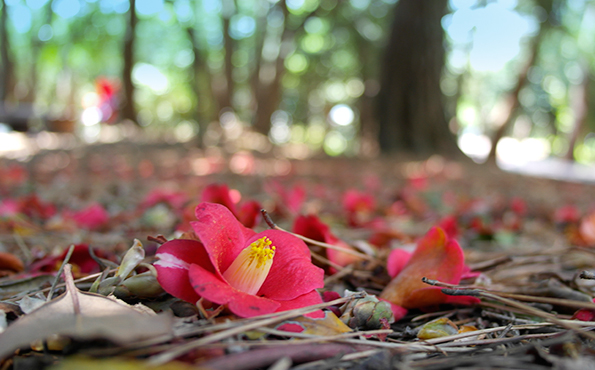Camélias da Ilha Odongdo. Foto: Yeosu City Site Oficial.