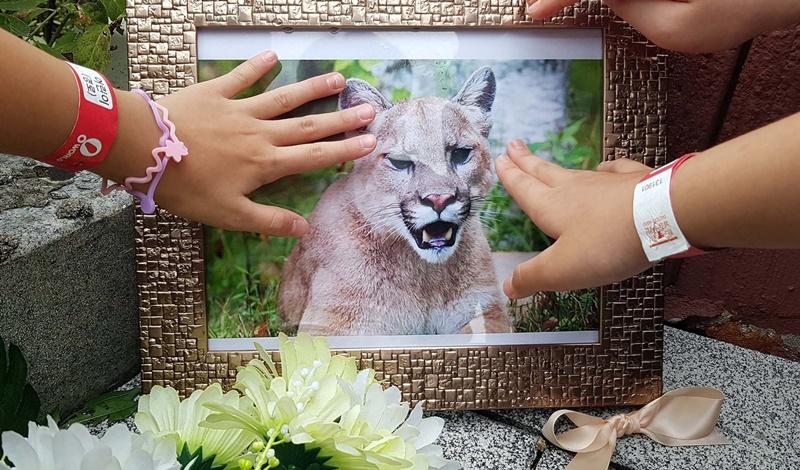 Na foto vemos um porta-retrato de Bbo-rong, a puma recentemente morta a tiros após ter escapado do cativeiro no zoológico de Daejeon em que costumava viver. (20 de setembro). Fonte: news.joins